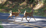 D'oh, a Deer! Tips For Avoiding Car Collisions With Deer This Fall