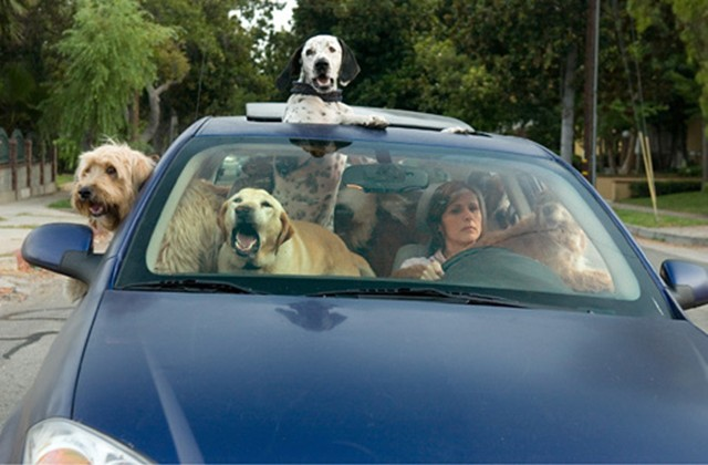Poll Pets Are Another Distraction While Driving
