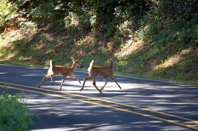 D'oh, a Deer! Tips For Avoiding Car Collisions With Deer ...